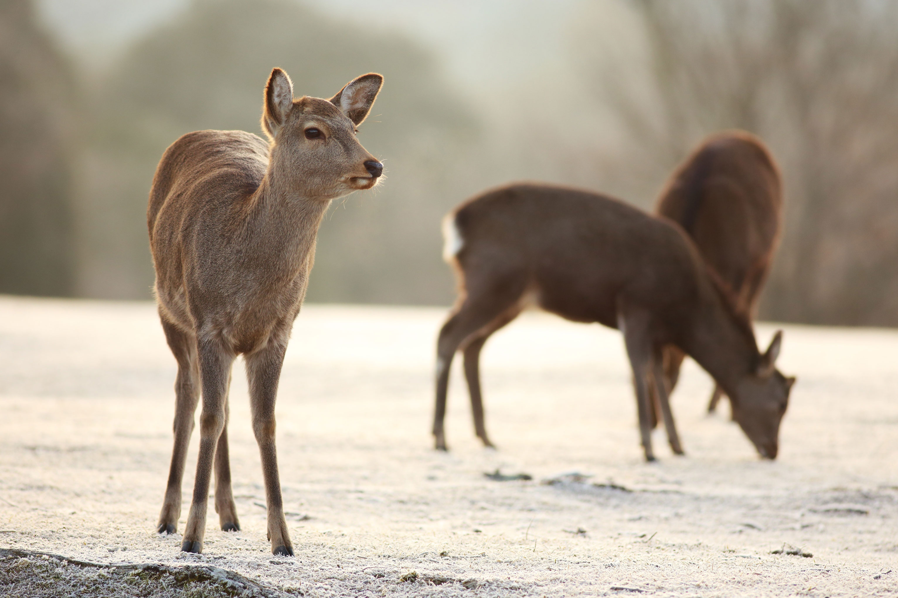 animals_deer_5760x3840_wallpap_5760x3840_animalhi.com